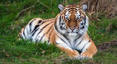 Tigers are at Port Lympne and Howletts Wild Animal Parks